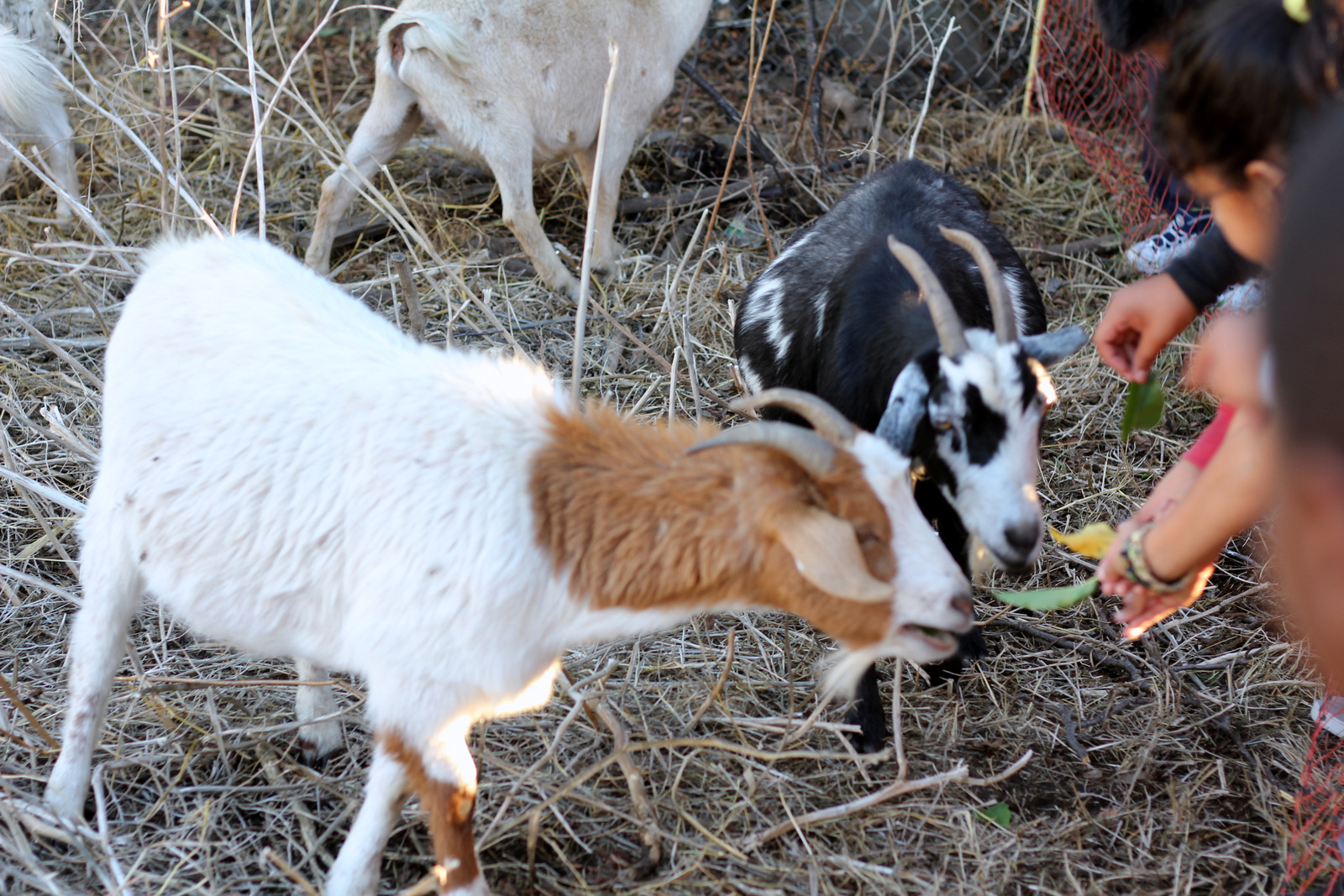 To Curb Illegal Dumping, Richmond Turns to Goats